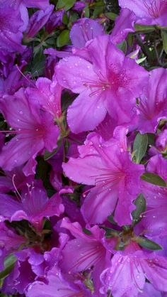 Azaleas  -  my mother's favorite flower.  Every spring when the azaleas bloom I see her smiling face and tears come to my eyes.