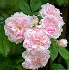 Hybrid Multiflora Rambling Rose: Rosa 'Psyche' (U.K.,1898)