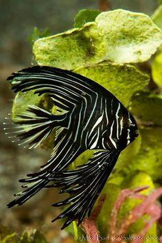Batavia Spadefish (Platax Batavianus) - Juvenile aka Zebra Batfish by Mike Bartick Underwater Creatures, Underwater Life, Ocean Creatures, Freshwater Aquarium Fish, Saltwater Aquarium, Tropical Freshwater Fish, Tropical Fish Aquarium, Fauna Marina, Life Under The Sea