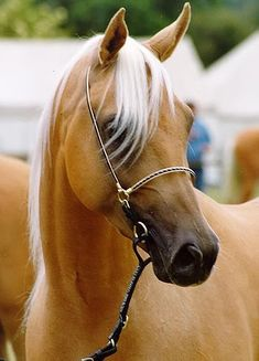 Palomino Arabian. I don't usually love Arabians, but this one is pretty.