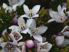 [Rutaceae] Boronia citriodora Gunn. ex Hook. fil.