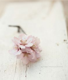 almond tree flower, in honor of my family's name (mandelbaum - which means… Almond Blossom, Cherry Blossom, Pink Blossom, Pretty In Pink, Beautiful Flowers, Pink Roses, Pink Flowers, Flower Arrangements, Bloom