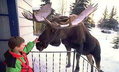 """""""Alaska's moose popu"""