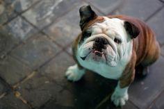 #British #Bulldog