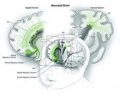 """Essential brain development occurs after birth. """"The dogma among developmental neuroscientists was that after birth all that was left was the fine wiring and pruning."""" The authors hypothesize that this late-stage mass migration of neurons may play a role in establishing fundamentally human cognitive abilities and that its disruption could underlie a number of neurodevelopmental diseases."""