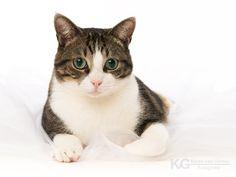 Cyperse kater. Katten fotografie studio in Zeist.