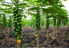 Amazon.com : Dwarf Solo Papaya Tree! 10 Seeds! Small fruit! PERFECT FOR GROWING IN POTS : Garden & Outdoor