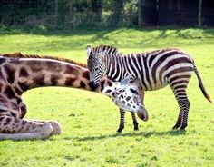 Giraffe and Zebra caring - no thought to color (or species)