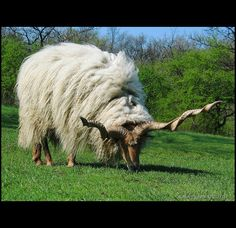 Magyar racka juh - hungarian racka sheep - Kő-hegy by Csaba Petrik CsabX