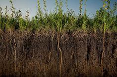 buffalo grass for the yard