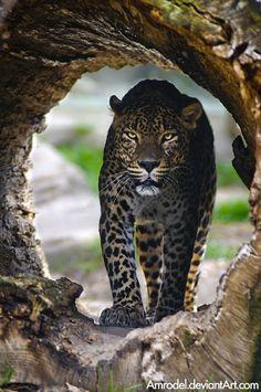 Sri-Lankan Leopard III by amrodel.deviantart.com