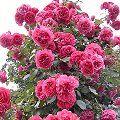 Rose 'Rosarium Uetersen' Erfahrungen, Schneiden - Pflege (Kletterrose) Rosa 'Rosarium Uetersen', Schneiden Pflege Pflanzen Bilder Fotos Garten