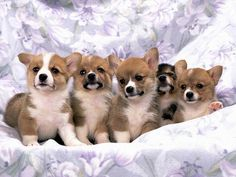 Hey! Hey guys... move over please... I can't see!  Adorable Corgi puppies.