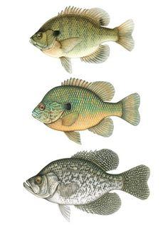 Bluegill & Panfishing Floats