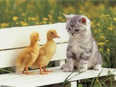 This cat is looking some ducks