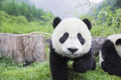 Panda...@Mika Proctor, am I the only one who sees Mallory in this panda's face?!  I might just need sleep! ;)