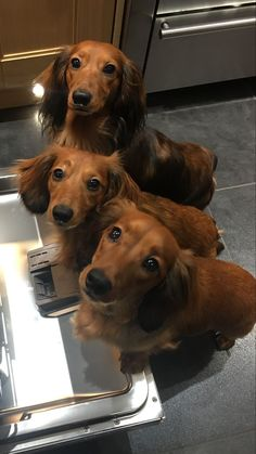Red miniature long haired dachshunds #dachshund