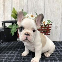 599 Best Boxers ect images in 2019 | Dogs, puppies, Dogs