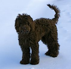 Australian Labradoodle, from Hope Farm Labradoodles in Wake Forest NC