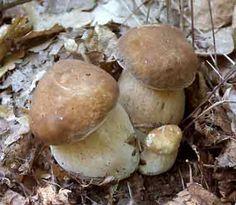 King Bolete (Boletus edulis) Edible Wild Mushrooms, Stuffed Mushrooms, Mushroom Hunting, Homemade Pasta, Fruit Garden, Linguine, Mushroom Recipes, Animal Tattoos, Outdoor Travel