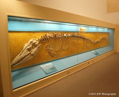Mosasaur Fossil on display at the Sternberg Museum of Natural History in Hays, Kansas