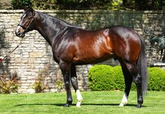 """Verrazano by the sire of sires More Than Ready.   Winner of 6 starts at three, including a pair of Gr.1's, by a combined margin of 46 lengths  """"From the very beginning Verrazano indicated to us that he was special. He is an imposing individual and he did things in the morning you don't see very often. His victory in the Gr.1 Haskell was as impressive as you will see, it was a phenomenal performance."""" Champion trainer Todd Pletcher  """"When you look at him next to other horses, he looks like…"""