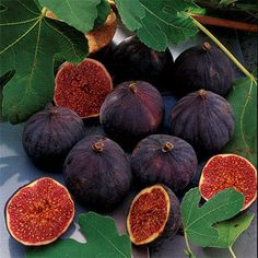 ~ Petite Negra Fig Tree ~    This naturally dwarf variety grows only 6 to 8 feet tall and 3 to 4 feet wide--perfect for a large container. It's self-fertile, so you just need one. This hard-working tree offers not one but two full crops of yummy fruit every year!