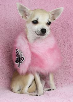 Meet the Shout chihuahua. She's such a princess!