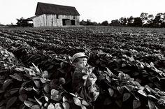 Promenade champêtreNoah Towell tient son chat au milieu des rangs de soja de l'exploitation familiale, dans l'Ontario. L'essor de l'agriculture a dû amener ces félins vers les premiers établissements humains il y a dix mille ans, attirés qu'ils étaient par les ordures, les cuisines et les entrepôts à grains infestés de rongeurs.