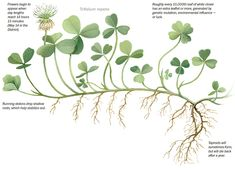 White clover (Trifolium repens) - Roughly every 10,000th leaf of white clover has an extra leaflet or more, generated by genetic mutation, environmental influence - or luck.