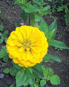 ~Yellow Marigold