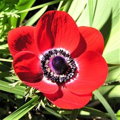 Anemone His Excellency - Modern Red Anemone, Anemone Flower, Anemones, Easy To Grow Bulbs, Flower Garden Plans, Bulbs For Sale, Great Cuts, Seed Catalogs, Allium