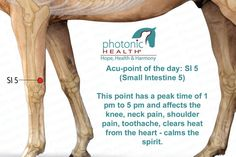 Acu-point of the day: SI 5 (Small Intestine 5)  This point has a peak time of 1 pm to 5 pm and affects the knee, neck pain, shoulder pain, toothache, clears heat from the heart - calms the spirit.  http://www.lechevalaunaturel.blogspot.ca/p/blog-page_14.html
