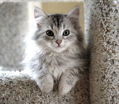 Siberians are affectionate cats with a good dose of personality and playfulness. They are amenable to handling, and breeders note that Siberians have a fascination with water, often dropping toys into their water dishes or investigating bathtubs before they're dry.