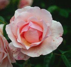 rosa lucetta - Google Search