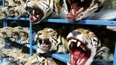 Over 1.3 million confiscated wildlife products fill this macabre menagerie of illegal animal specimens.