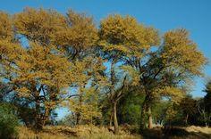 Acacia galpinii (Monkey thorn) - Wharthog Lodge