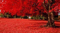 Картинки по запросу дерево с красными листьями