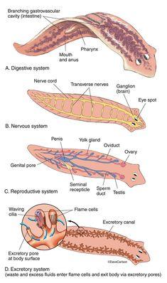 Annelida roundworm diagram | Phylum Annelida | Worms ...  Annelida roundw...