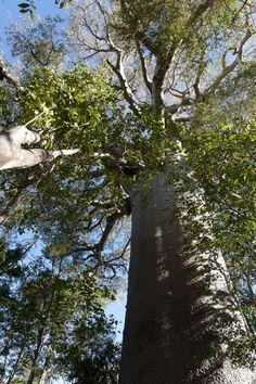 Mada's baobab
