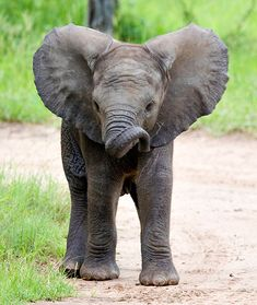 African Elephant (Loxodonta africana) | Rainforest Alliance