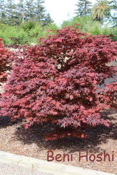 Acer Palmatum, Japanese Maple, Hoshi, Plants, Plant, Planets