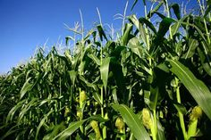 Command Agric boost for agro-based industries - The Herald - http://zimbabwe-consolidated-news.com/2017/01/13/command-agric-boost-for-agro-based-industries-the-herald/