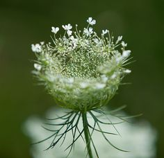 Queen Ann's Lace - blooming NOW in Western Pennsylvania along the roads and highways, and in the fields.