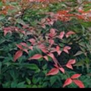 Nandina domestica 'Richmond' (Heavenly bamboo 'Richmond')Click image to learn more, add to your lists and get care advice reminders each month.