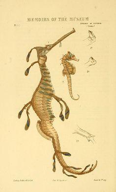 hippocampus - sea dragon vintage illustration