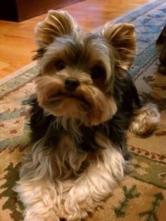 Yorkshire Terrier that looks exactly like my BUBBA