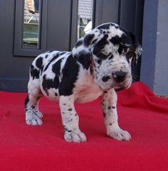 Stunning #Great #Dane #Puppy