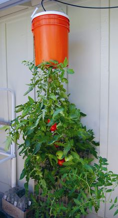 Hanging Vegetable Garden – What Vegetables Can Be Grown Upside Down - garden types Tips For Growing Tomatoes, Growing Tomato Plants, Growing Tomatoes In Containers, Grow Tomatoes, Cherry Tomatoes, Tomato Seedlings, Garden Tomatoes, Small Tomatoes, Hydroponic Gardening