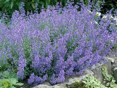 Catmint Kit Kat is a dwarf Nepeta variety with small grey-green foliage. The blue aromatic blooms are highly fragrant and will attract winged friends while deterring deer. Garden Shrubs, Garden Plants, American Meadows, Blue Garden, Garden Borders, Back Gardens, Garden Planning, Backyard Landscaping, Blue Flowers